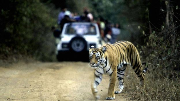 India alarm over rising tiger deaths – BBC News | CHINDIA